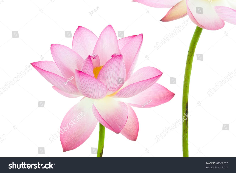 Pink lotus flower white background lotus stock photo image pink lotus flower and white background the lotus flower water lily is national izmirmasajfo