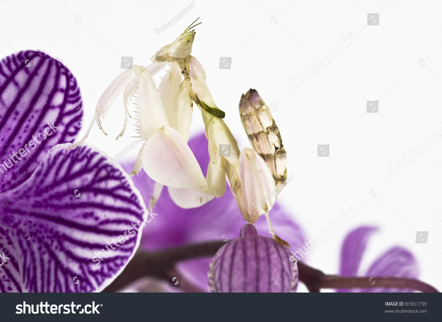 Hymenopus coronatus malaysian orchid mantis malaysian stock photo hymenopus coronatus malaysian orchid mantis malaysian orchid praying mantis pink orchid mantis dhlflorist Image collections