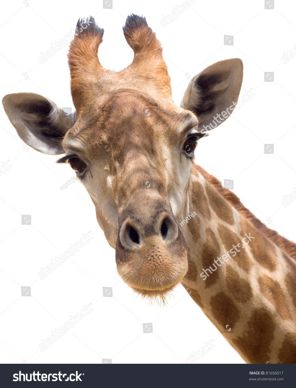Giraffe head close up - photo#12