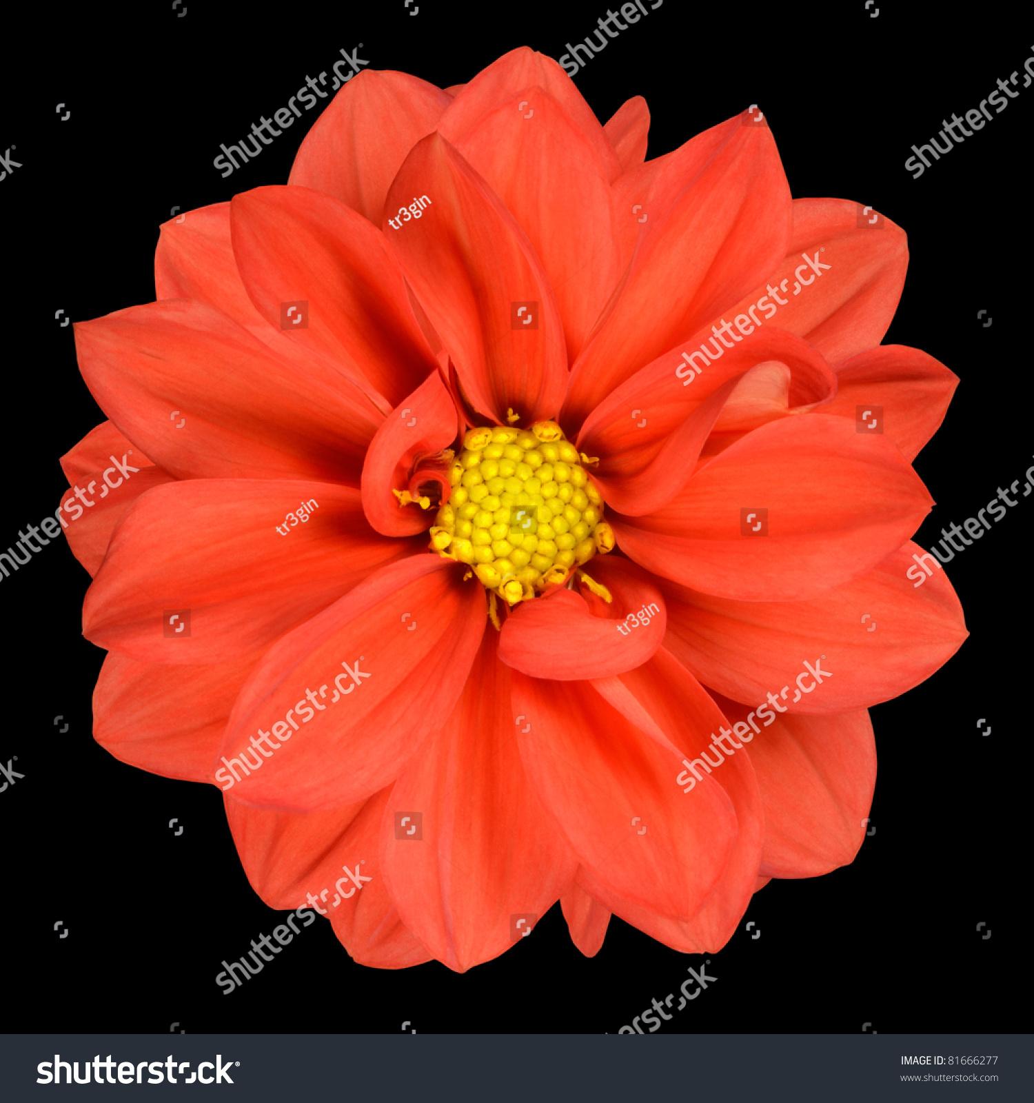 Perfect Orange Dahlia Flower Head Yellow Stock Photo Edit Now