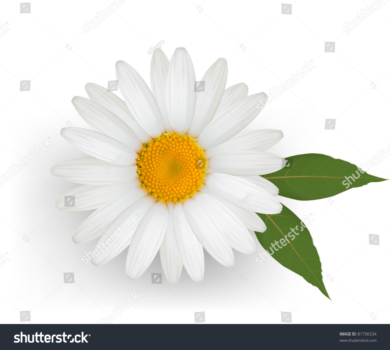 Beautiful Daisy Flower Leaves Vector Stock Vector Royalty Free