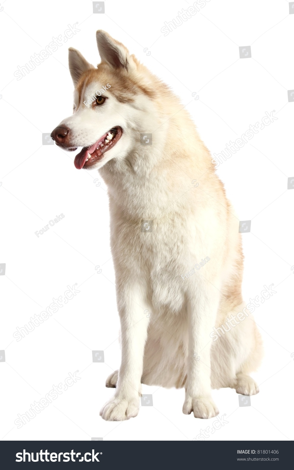 Brown And White Husky
