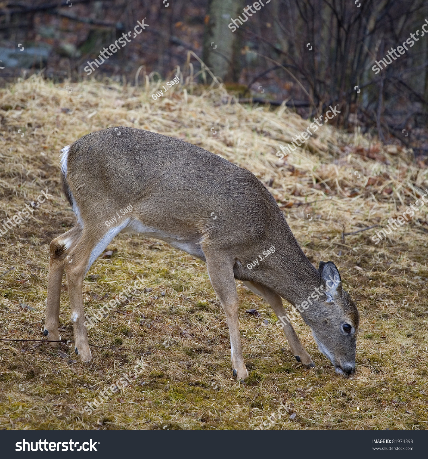 Whitetail With Its Nose To The Ground Looking For Food ...