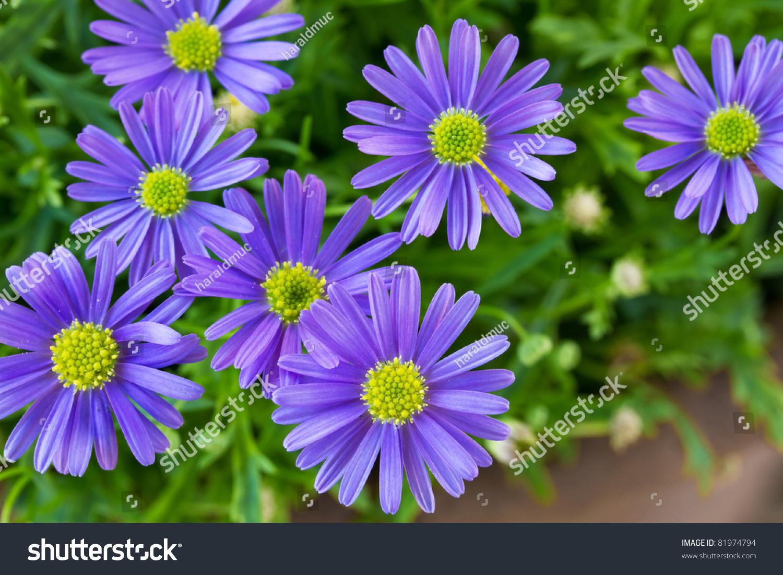 Purple Daisy Wind Flower Brachyscome Iberidifolia Stock Photo Edit