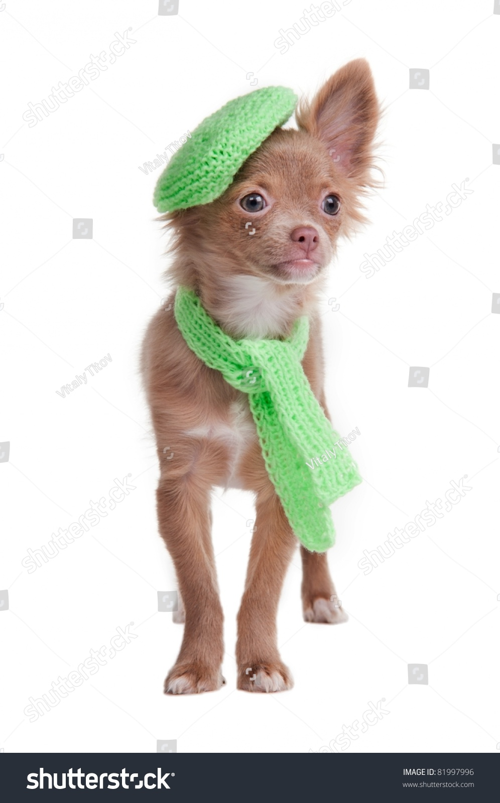 stock-photo-chihuahua-puppy-with-green-beret-and-scarf-isolated-on-white-background-81997996.jpg