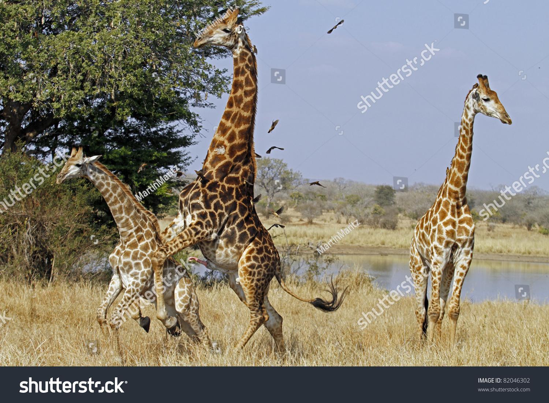 Giraffe Mating Stock Photo 82046302 - Shutterstock  Giraffe Mating ...