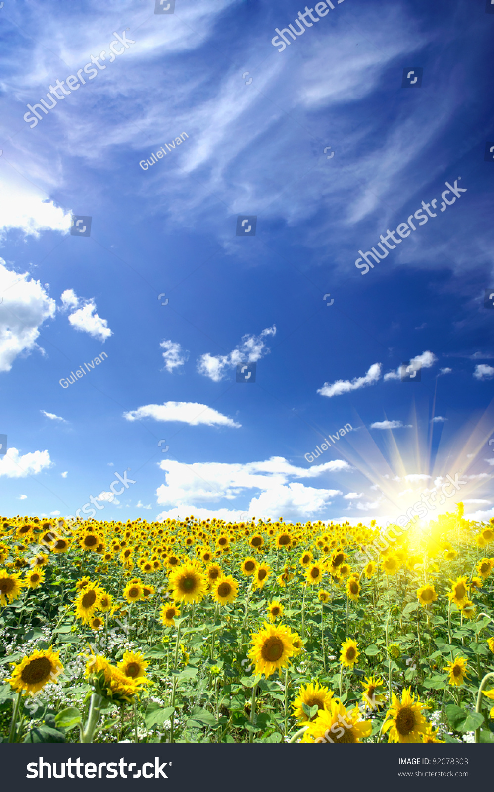 Wonderful Summer Field Of Sunflowers And Sun In The Blue ...