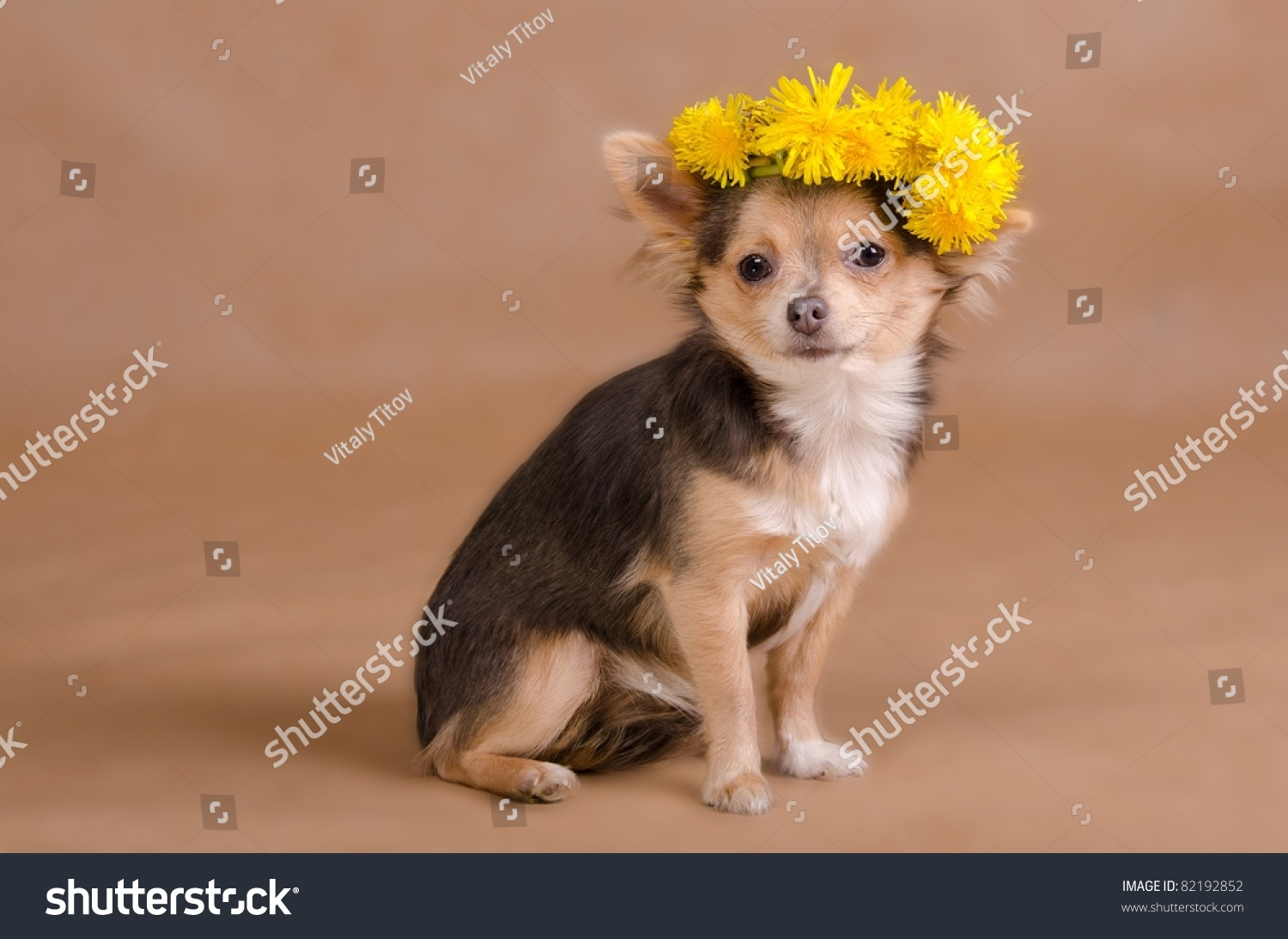 Portrait of a chihuahua puppy wearing wreath of yellow flowers, studio shot #82192852