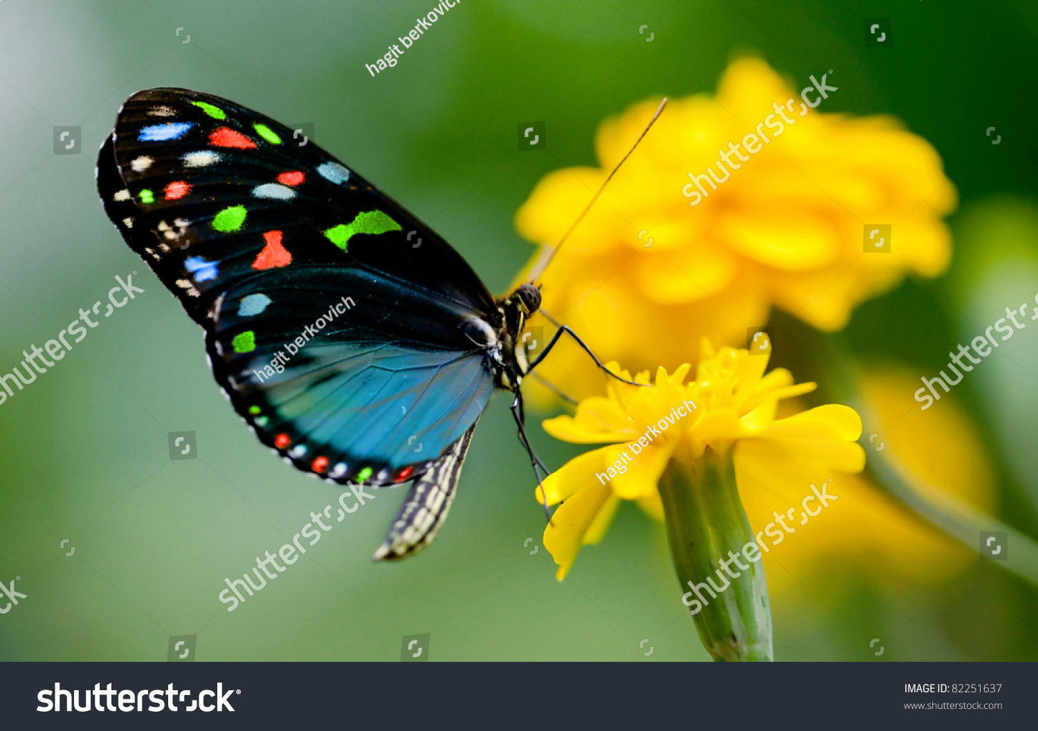Colorful Butterfly Stock Photo (Royalty Free) 82251637 - Shutterstock