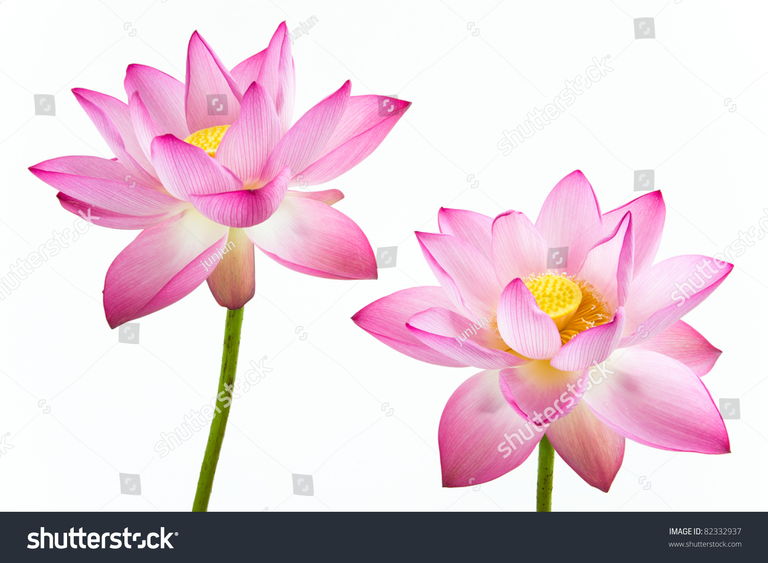 Twain Pink Water Lily Flower Lotus Stock Photo Edit Now 82332937