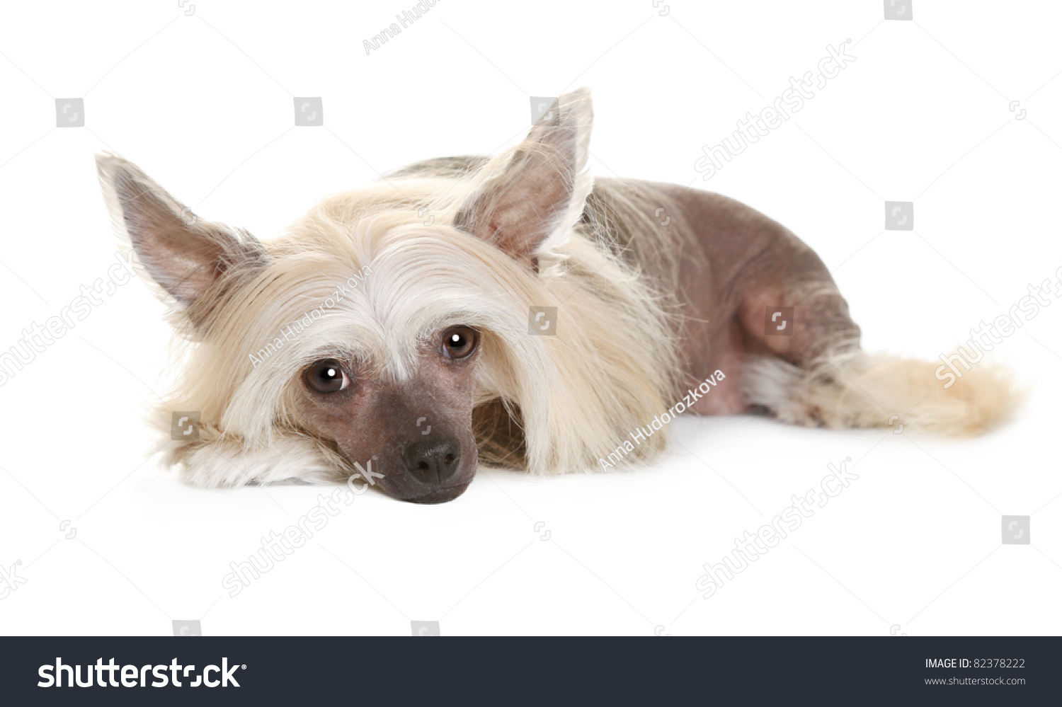 Sad Chinese Crested Dog Laying Looking Stock Photo Royalty Free