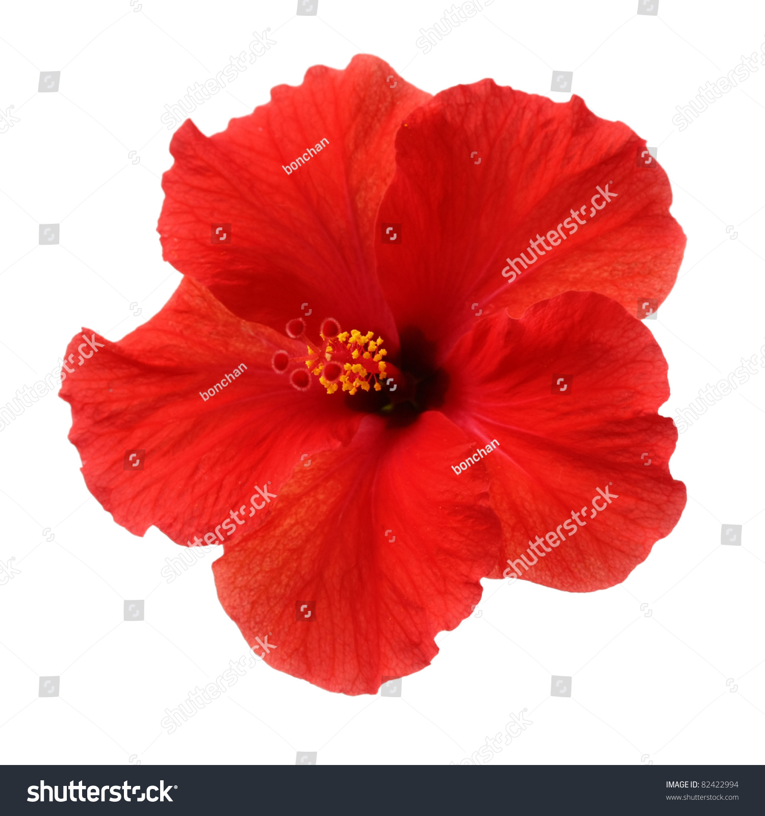 Red flower hibiscus rosa sinensis isolated on white background ez red flower hibiscus rosa sinensis isolated on white background ez canvas izmirmasajfo