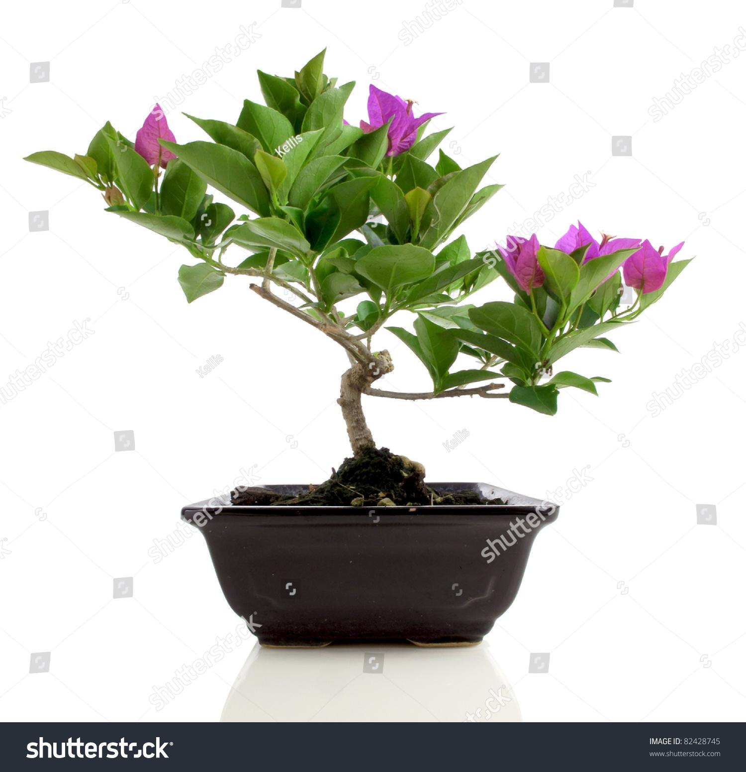 Isolated bougainvillea bonsai on white background stock for Bougainvillea bonsai prezzo