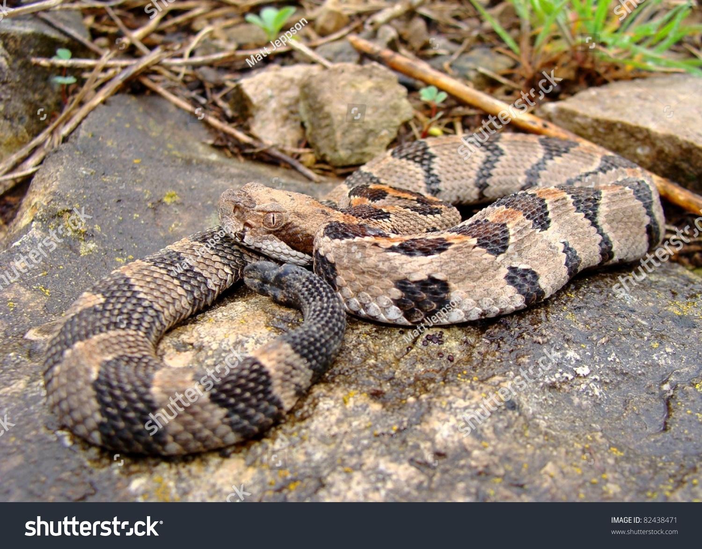 Juvenile Timber Rattlesnake, Crotalus Horridus Stock Photo ...