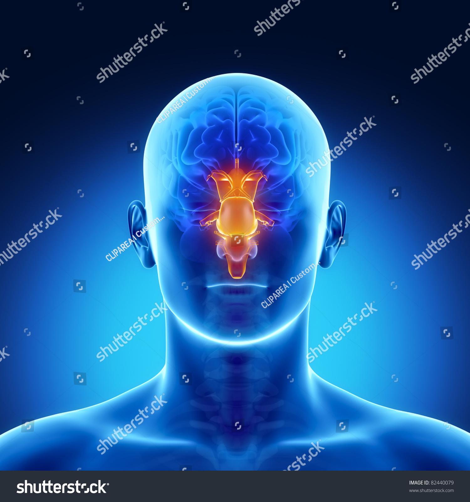 Male Anatomy Human Organs Xray View Stock Illustration 82440079 ...