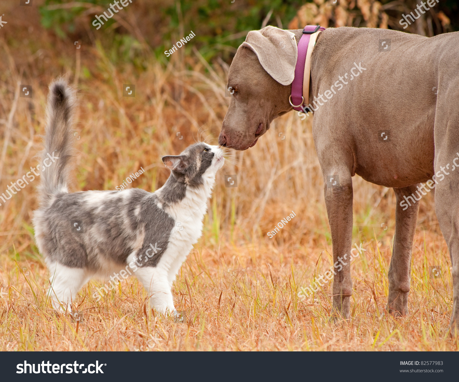 stock-photo-cat-and-big-dog-sniffing-nos