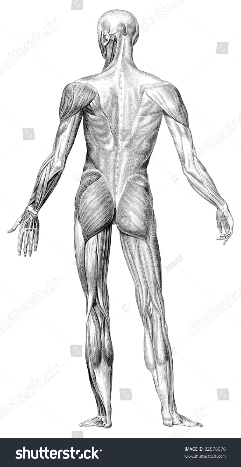 Human Body Muscle Structure Depicts Back Stock Photo Edit Now