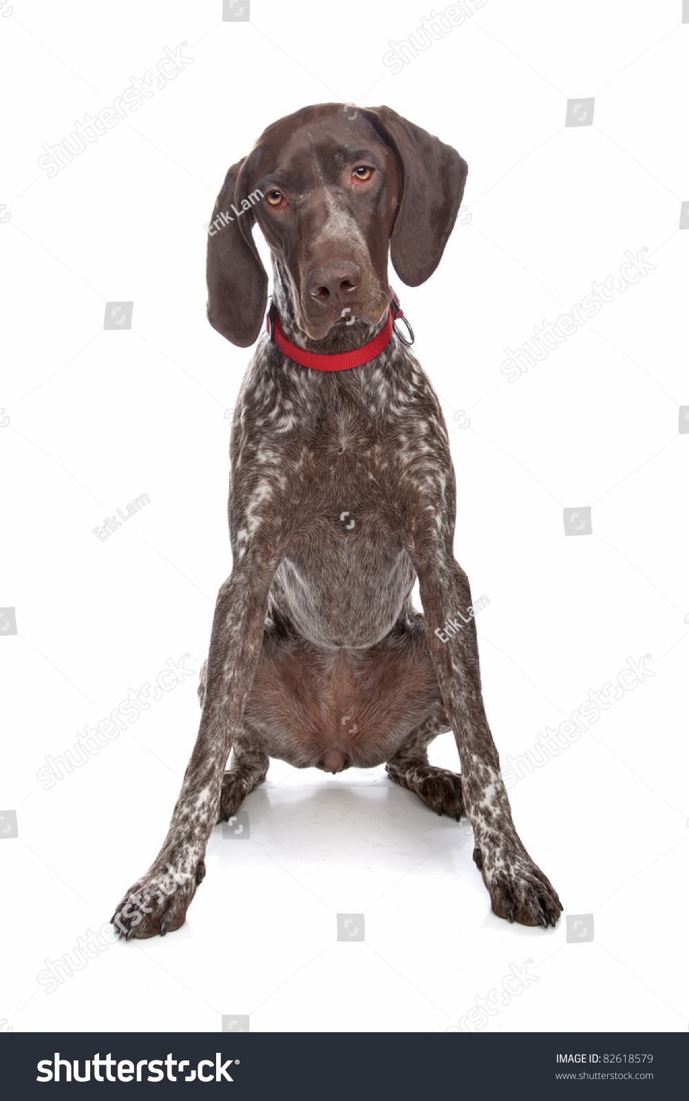 German Shorthaired Pointer In Front Of A White Background Stock ...