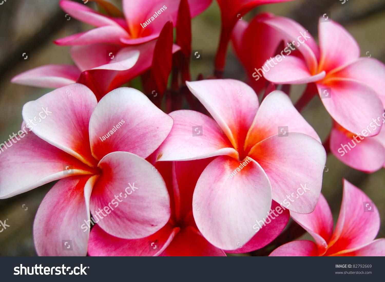 Closeup pink tropical plumeria flower hawaii stock photo 82792669 closeup pink tropical plumeria flower hawaii mightylinksfo Choice Image