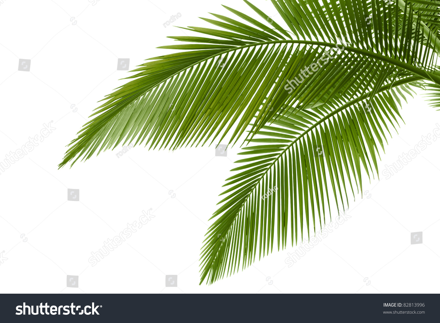 palm tree krone branches - photo #5