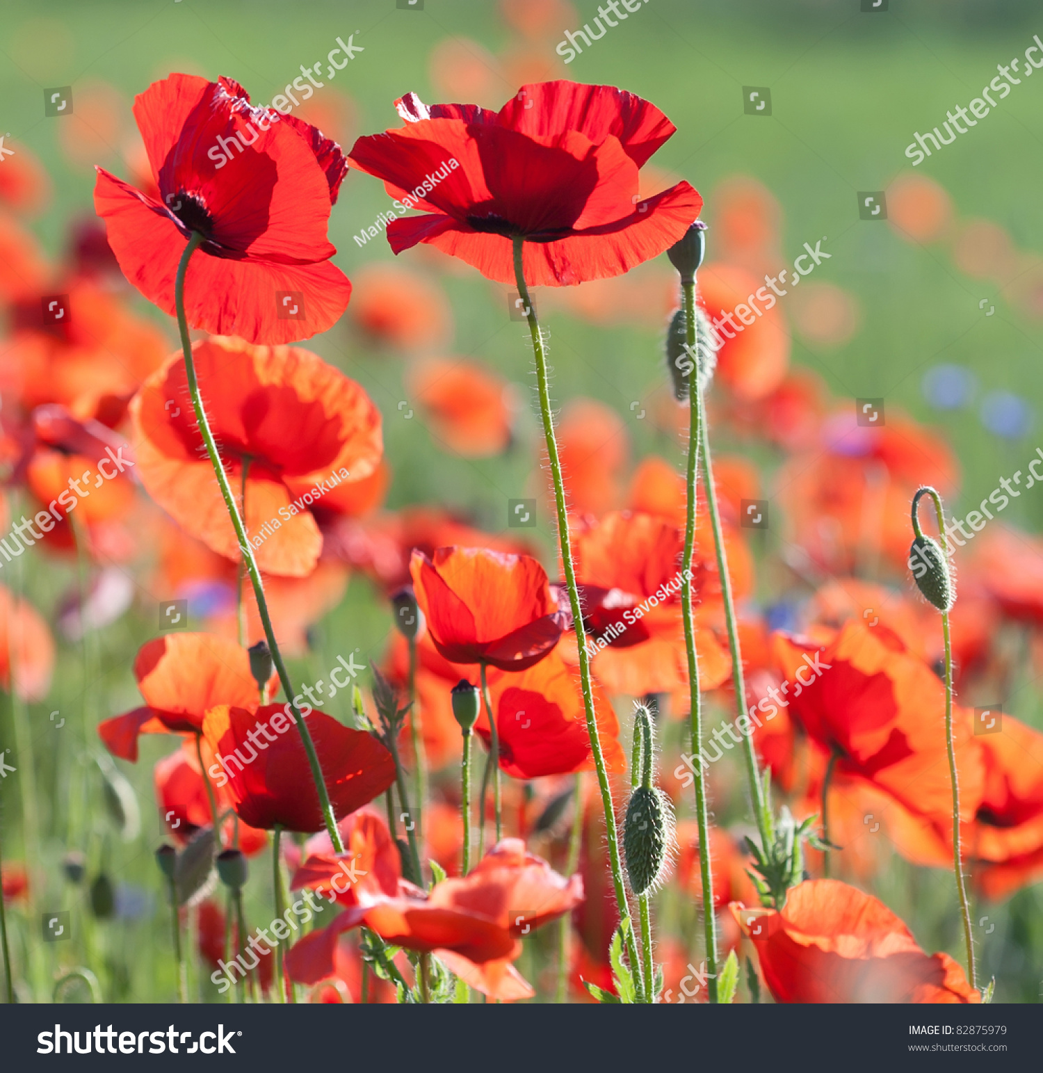 Flowers Poppy Selective Focus Colors June Stock Photo (Royalty Free ...