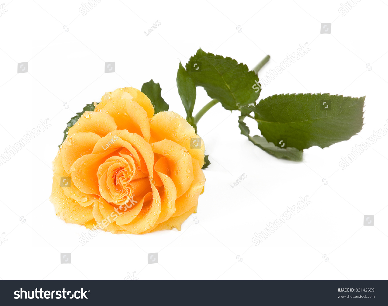Yellow Rose With Water Drops: Beautiful Yellow Rose With Leaves And Water Drops Isolated