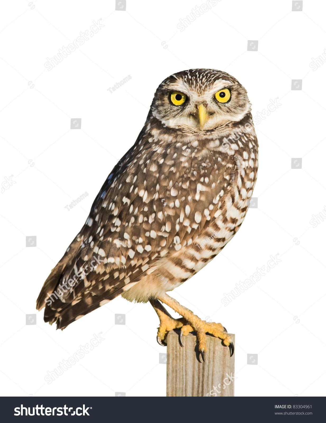 Burrowing Owl isolated on white.Latin name - Athene cunicularia.