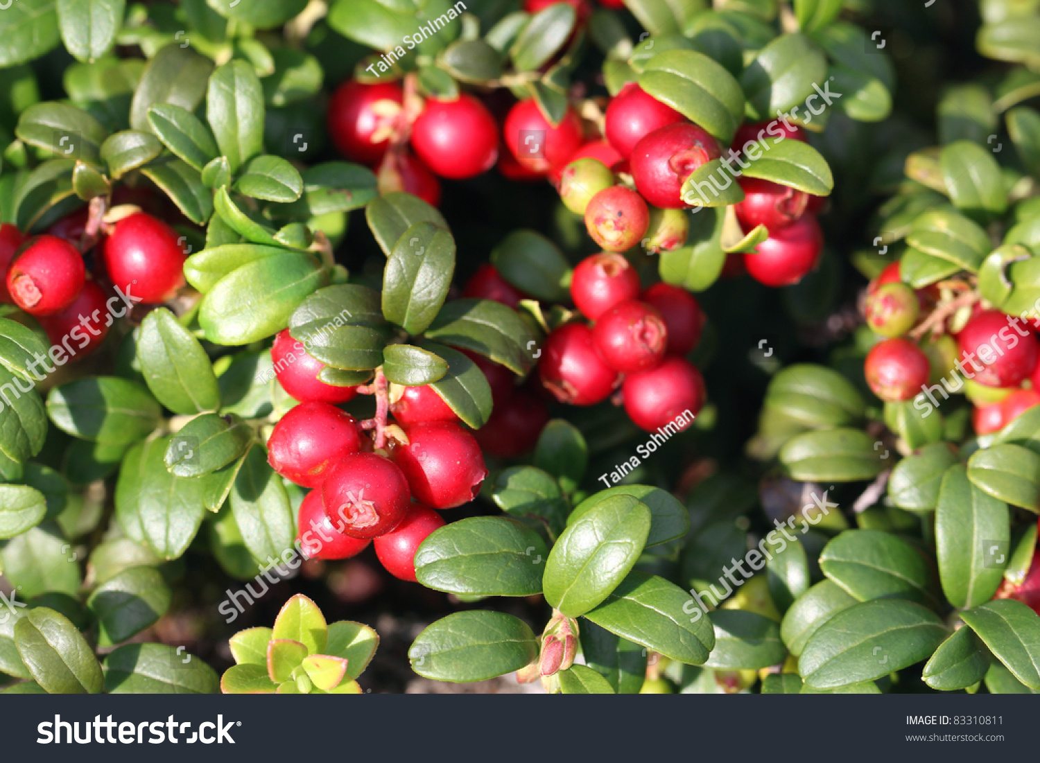 cowberry or lingonberry vaccinium vitis idaea growing in forest stock photo 83310811. Black Bedroom Furniture Sets. Home Design Ideas