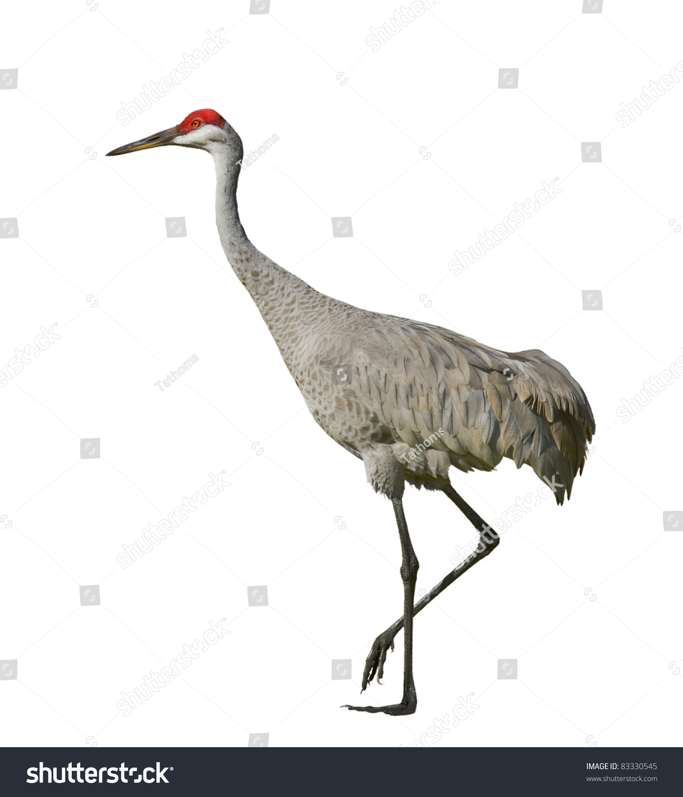 Sandhill crane, isolated on white. Latin name - Grus cannadensis.