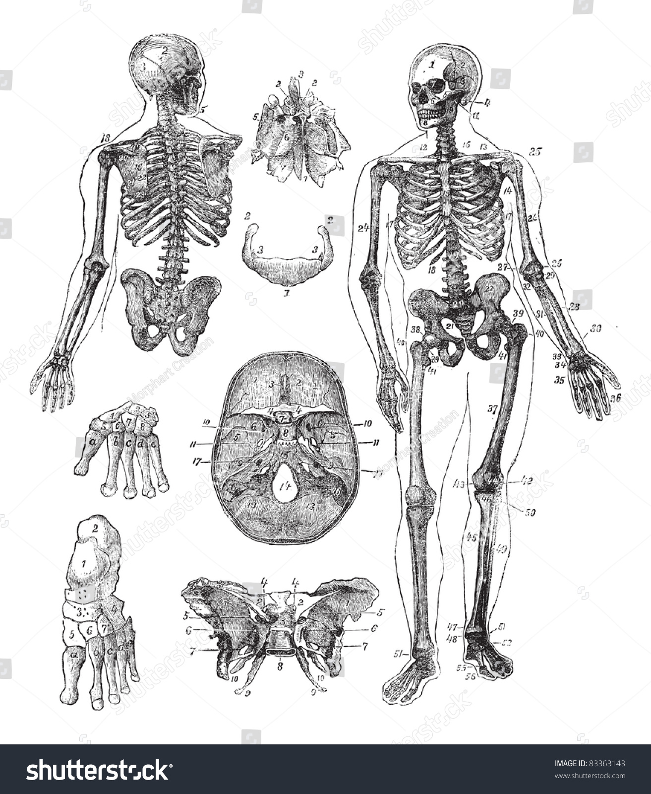 human skeleton vintage engraving old engraved stock vector, Skeleton