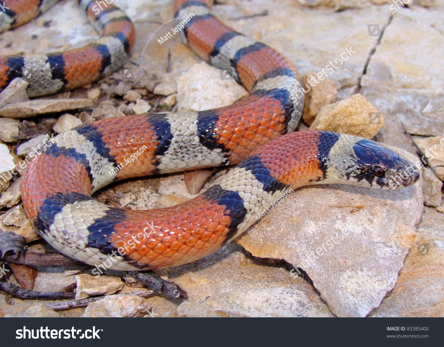 The Colorful Central Plains Milk Snake, Lampropeltis ...