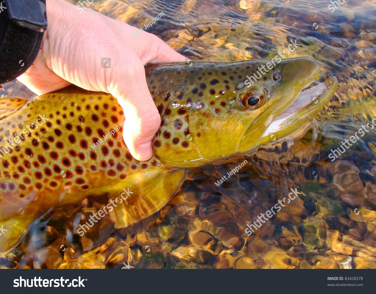 Brown trout caught fly fishing on the white river of for Fly fish usa