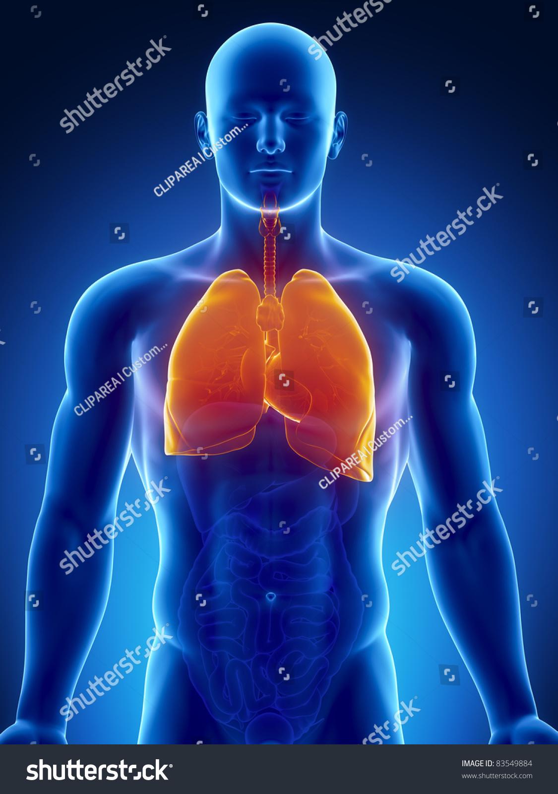 Male Anatomy Human Respiratory System Xray Stock Illustration ...