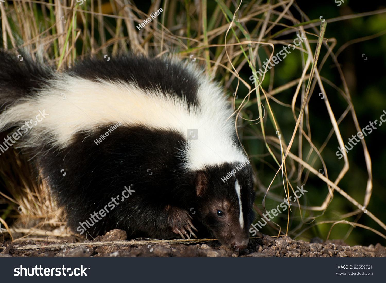 skunk stock photo 83559721 shutterstock