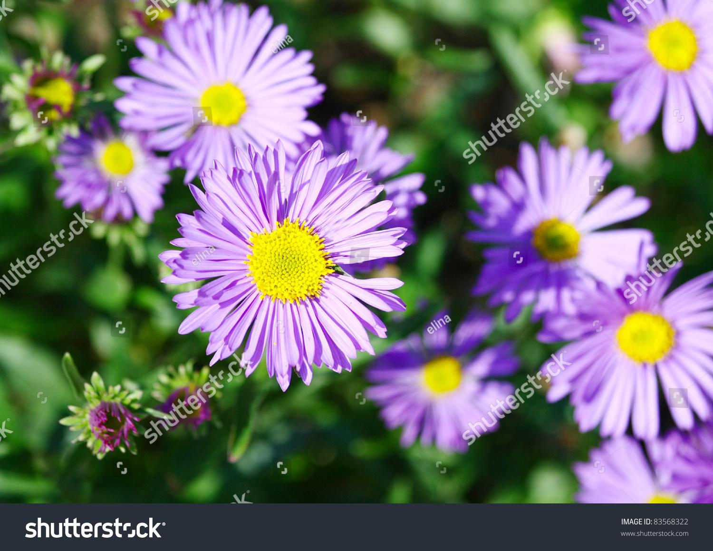 Violet Chamomile Flowers In Garden Ez Canvas