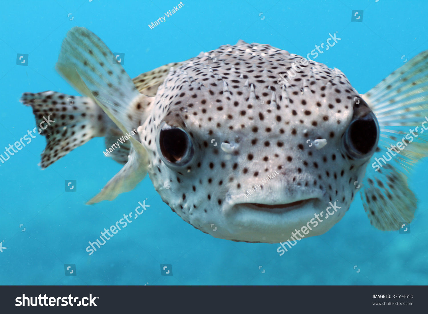 Giant porcupine puffer fish stock photo 83594650 for Giant puffer fish