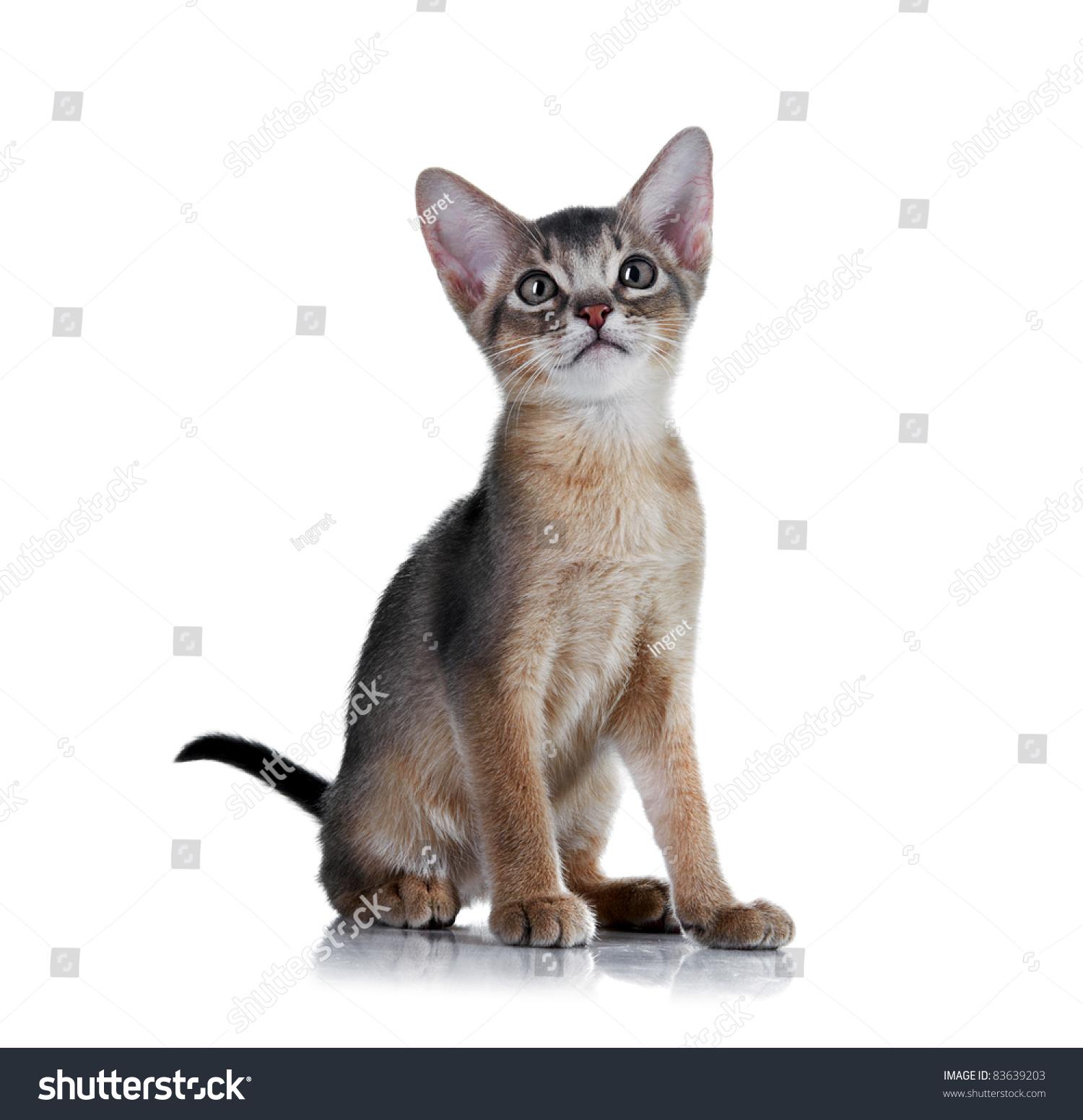Abyssinian Kitten Age 2 Month Stock Photo 83639203 - Shutterstock