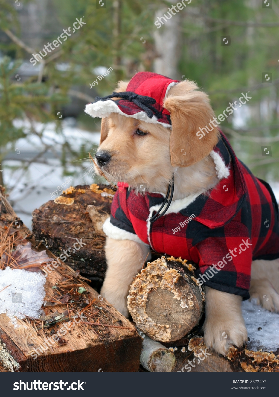 Adorable Golden Retriever Puppy Lumberjacks Outfit Stock Photo Edit Now 8372497