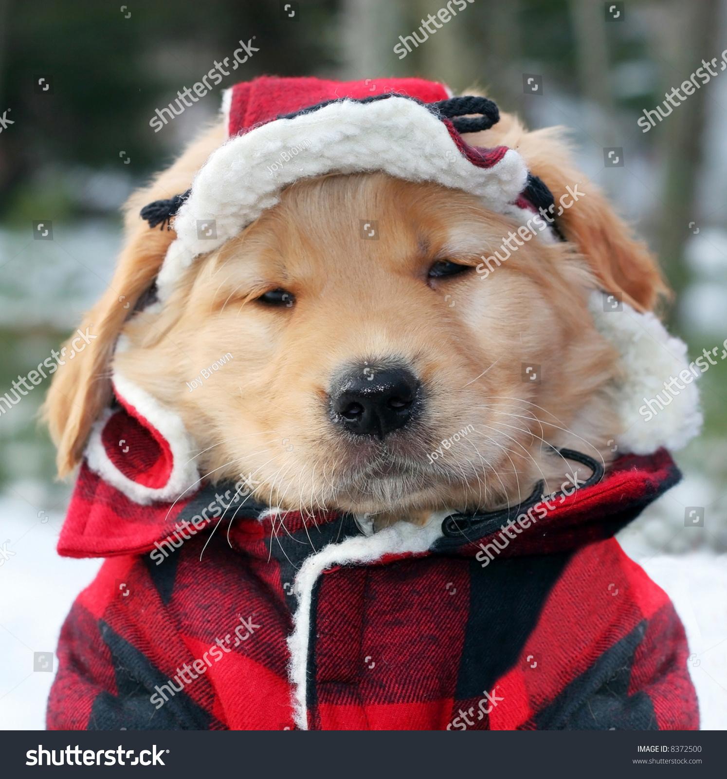 adorable golden retriever puppy plaid hat stock photo