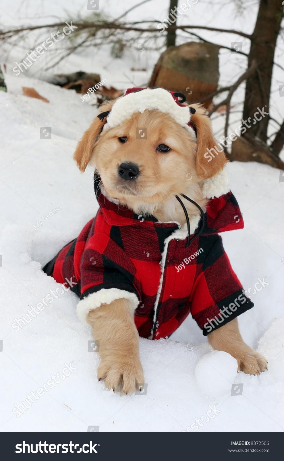 Adorable Golden Retriever Puppy Plaid Hat Stock Photo Edit Now