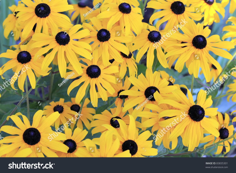 Beautiful Blackeyed Susan Flowers Deep Yellow Stock Photo Edit Now