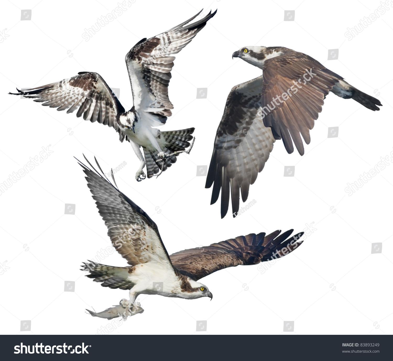 Three Ospreys in flight, isolated on white. Latin name - Pandion haliaetus.