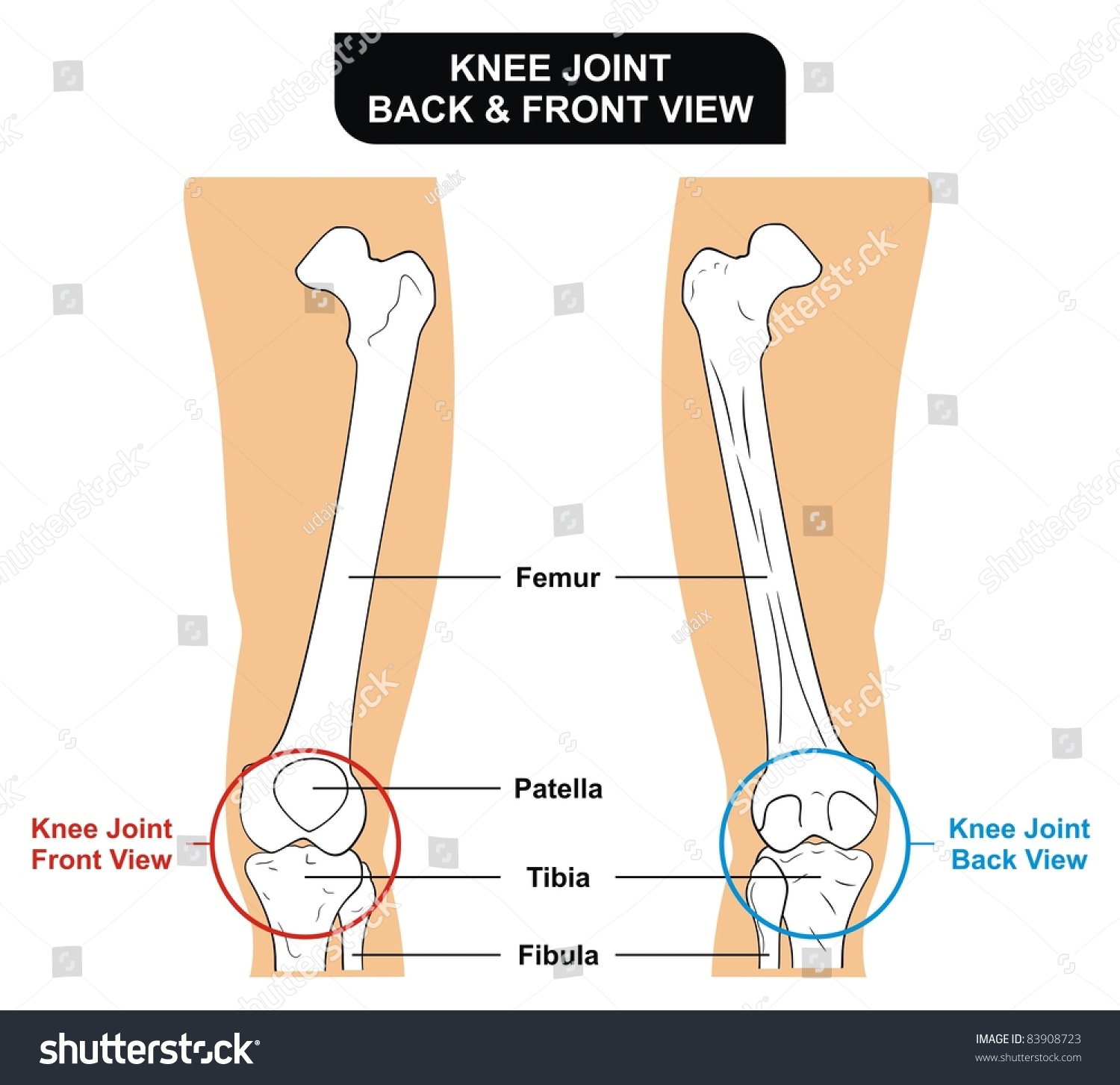 Knee Joint Front Back View Bones Stock Photo Edit Now 83908723