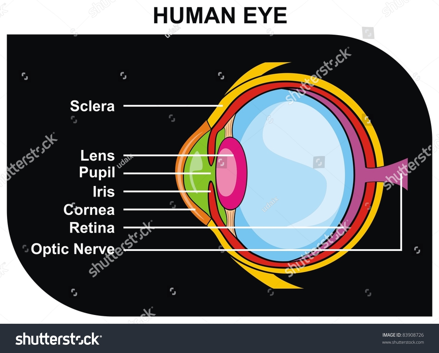 Structure Human Eye Functioning besides Crazy Friday Science New Duas Layer Discovered In Human Eyes Ophthalmology Changed Forever moreover 286 Eye likewise Eye Model Anatomy Lab Human Eye Model Youtube in addition 16088288. on eye ball diagram labeled