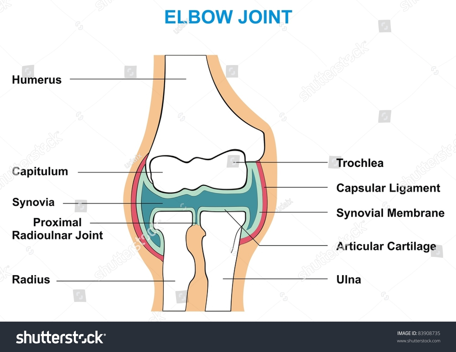 Elbow Joint Cross Section Showing Major Parts Stockfoto Jetzt