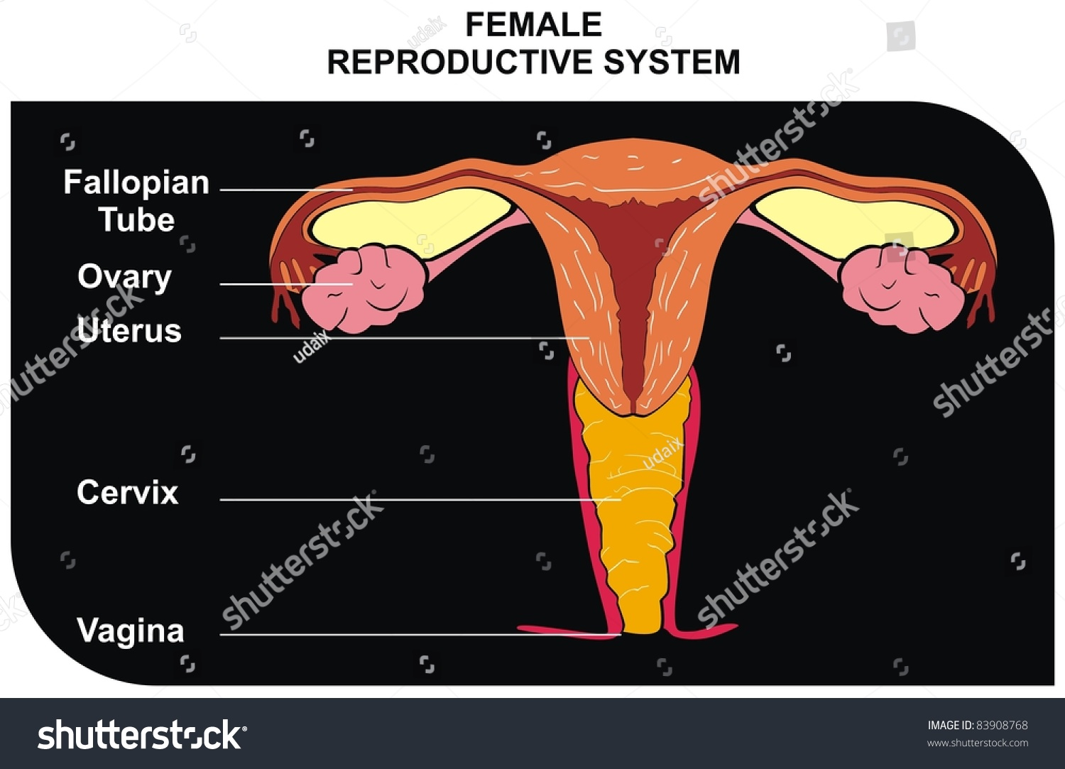Female reproductive system including fallopian tube stock photo female reproductive system including fallopian tube ovary uterus cervix vagina ccuart Choice Image
