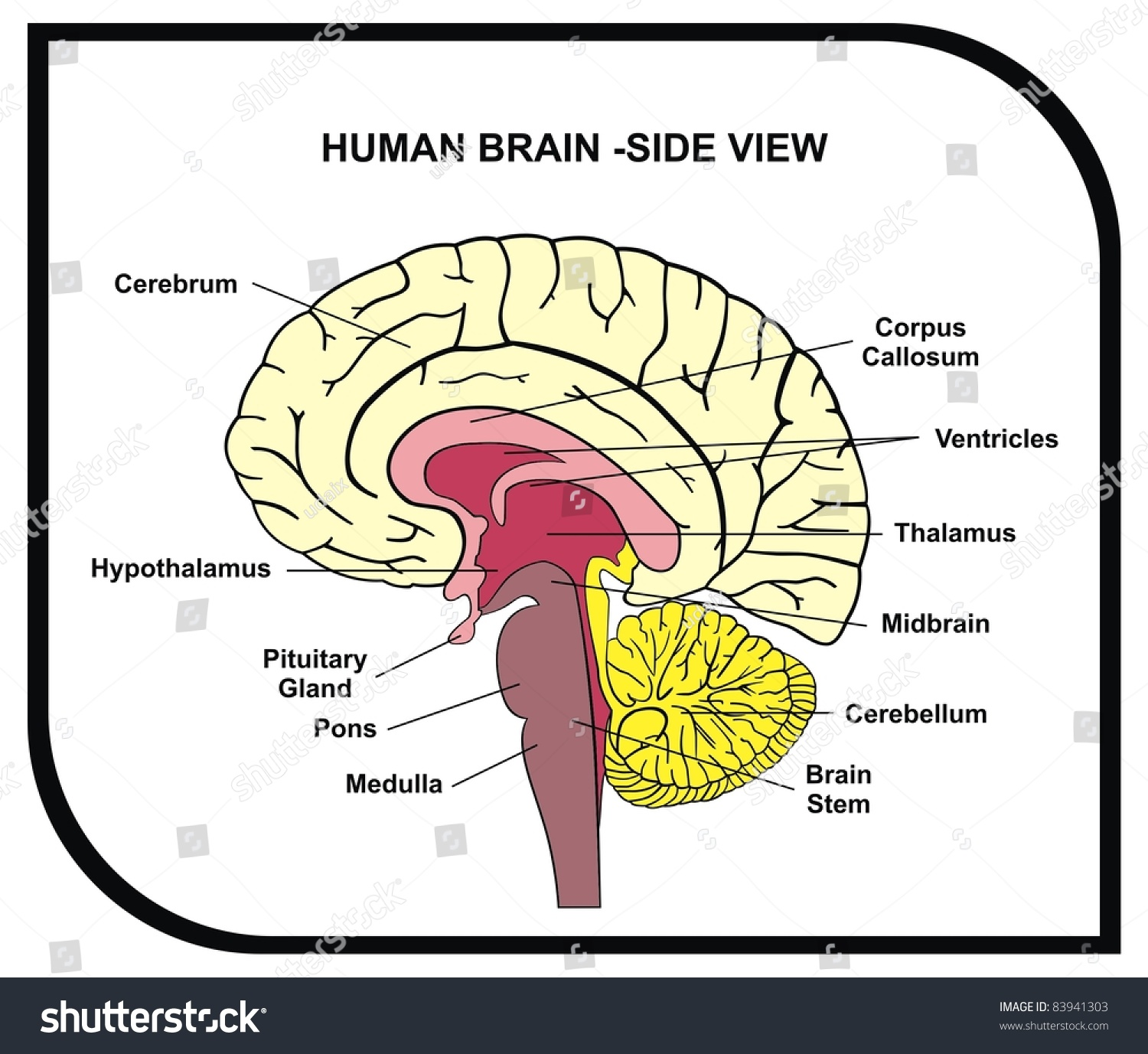 Human Brain Diagram Side View Parts Stock Photo (Safe to Use ...