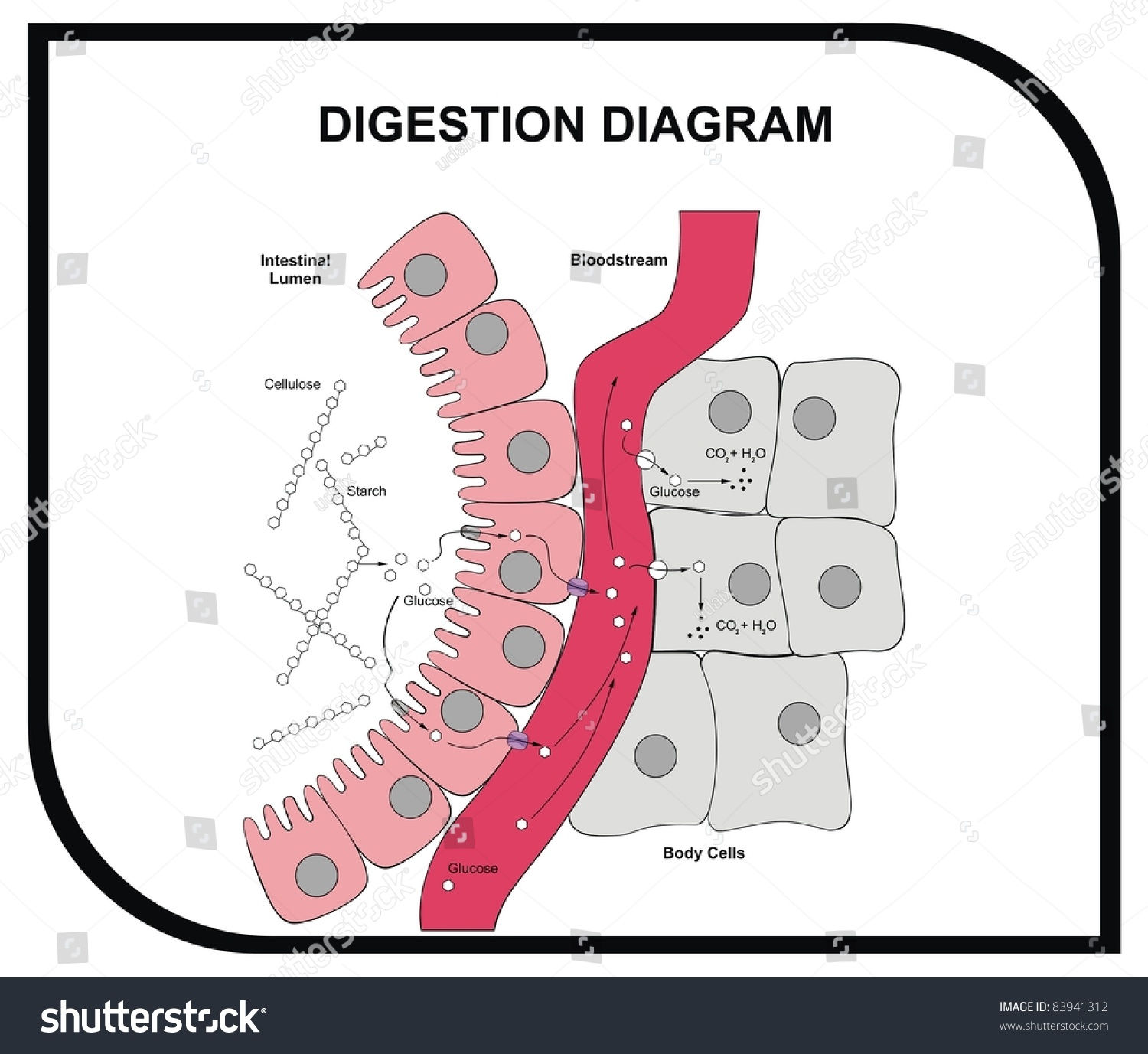 digestion diagram abdominal tissue medical and educational  : digestion diagram - findchart.co