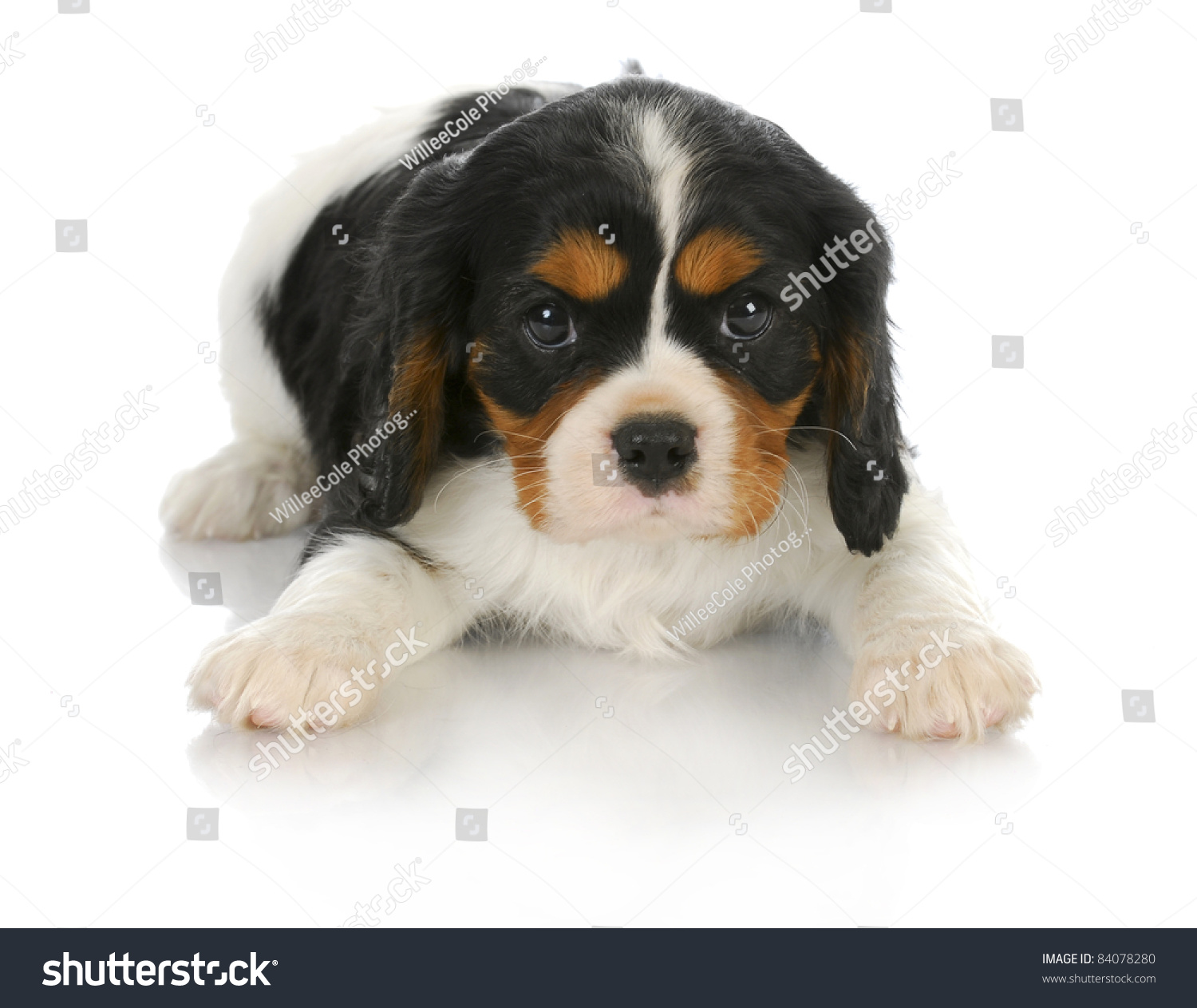 Cute Puppy Tricolor Cavalier King Charles Stock Photo ...
