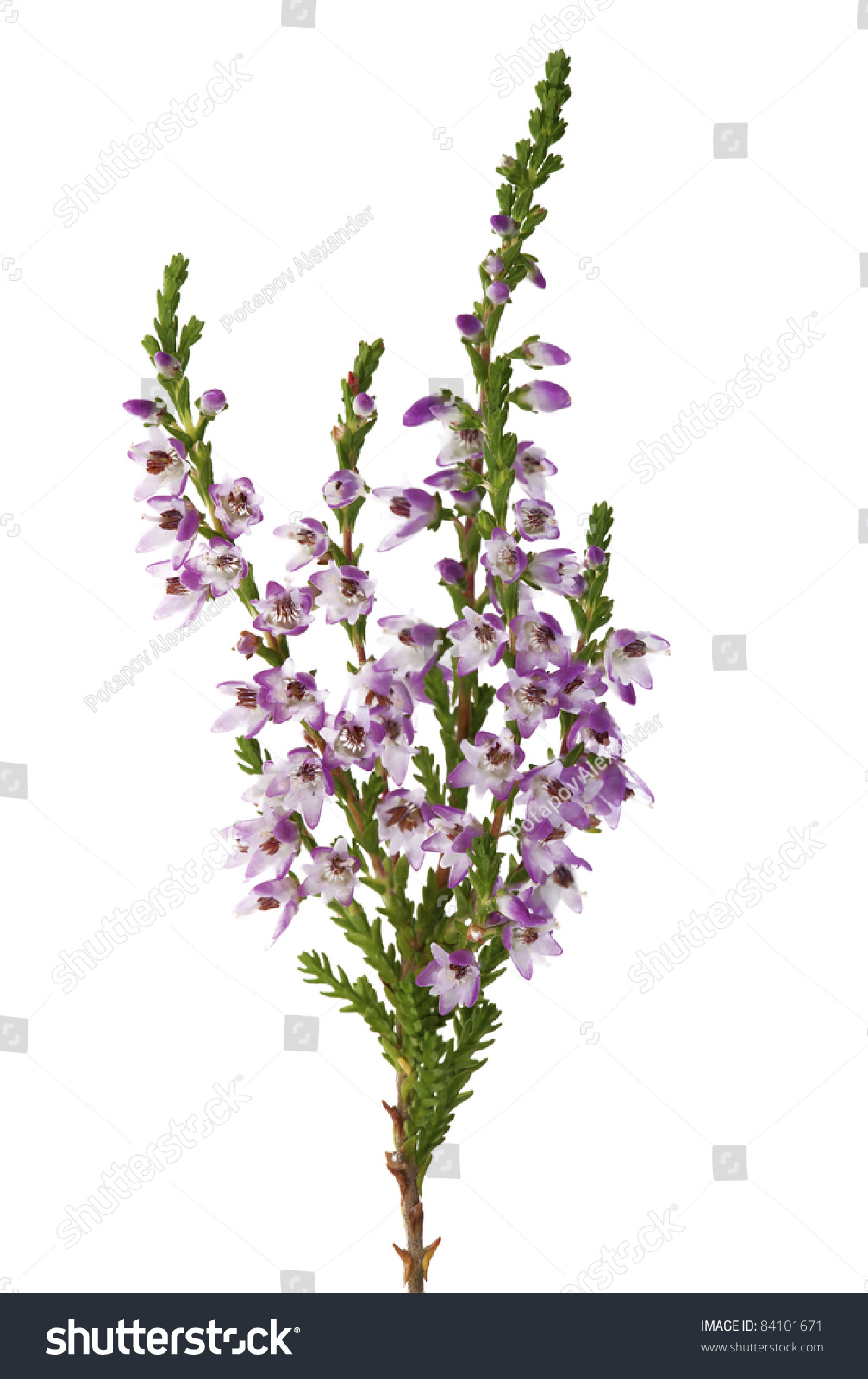 Heather Purple Flowers Isolated On White Stock Photo Edit Now